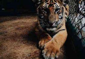 Tigre testa positivo para coronavírus após contato com guarda infectado
