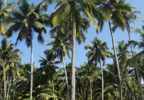 Agricultor deve ser indenizado após ter 887 coqueiros queimados na Paraíba