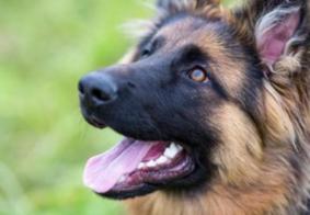 Morre Buddy, o primeiro cachorro a testar positivo para Covid-19 nos EUA