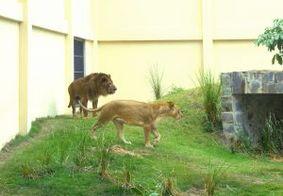 Parque da Bica, o zoológico de João Pessoa, recebe novo leão; saiba mais