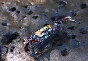 Começa neste sábado (11) proibição da captura do caranguejo-uçá
