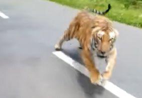 Tigre sai de matagal e corre atrás de motociclistas; ação foi filmada e viralizou na web