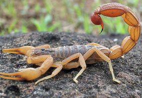Família encontra mais de 40 escorpiões em casa