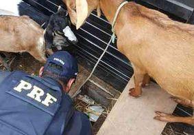 Polícia apreende cocaína escondida em fundo falso de caminhonete que transportava cabras