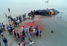 Vídeo: moradores fazem churrasco de baleia após animal encalhar, na BA