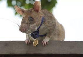 Rato 'herói' que detecta minas e explosivos vai se aposentar