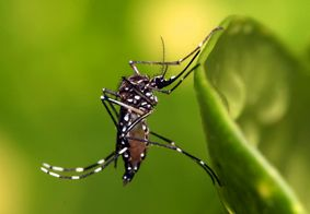 O mosquito que transmite arboviroses, Aedes aegypti