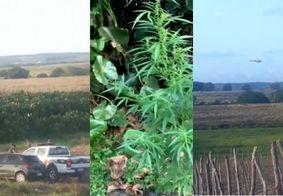 Polícia encontra plantação de maconha a céu aberto na Grande João Pessoa