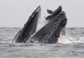 """Leão-marinho """"dá sorte"""" e é devolvido ao mar por baleia na Califórnia"""