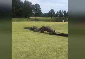 Jacarés protagonizam luta ferrenha em campo de golfe